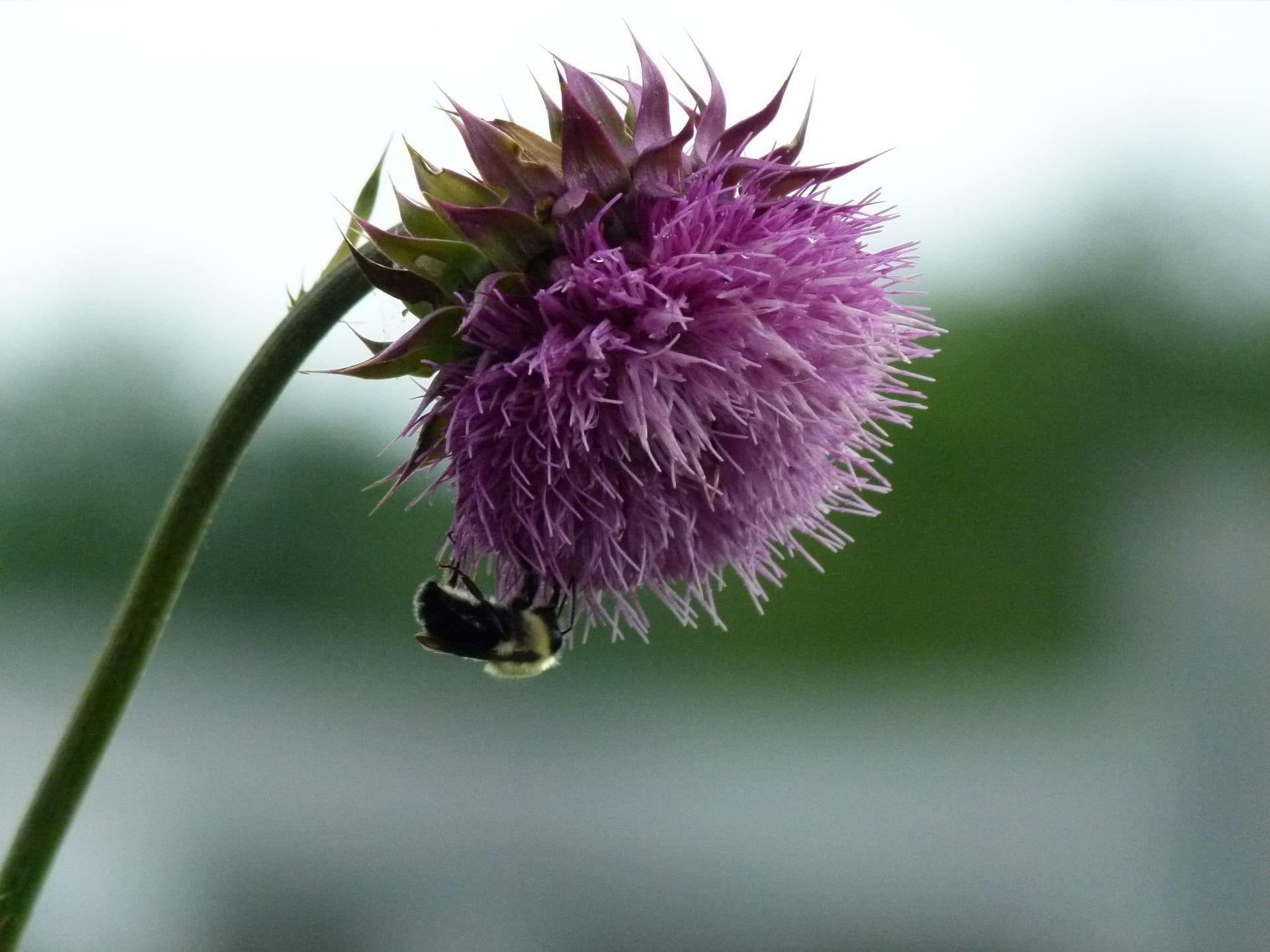Milk thistle and its presumed effects on your health